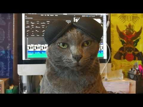 """New cat breeds """"Korat Fold"""" แมวสายพันธุ์ใหม่ """"โคราชโฟด"""" ฮ่าๆๆๆๆ"""