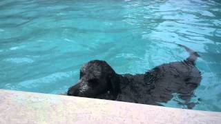 Webbed Feet Labradoodle Sparty Swimming In Pool