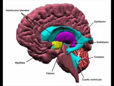 EL CEREBRO HUMANO. UNIVERSIDAD HISPANA CAMPUS CD. SERDÁN - YouTube