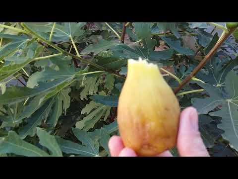Дерево инжир и его плоды. Пробуем.