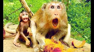 You will laugh and you will love watching comical baby monkey Farrah run scare cameraman