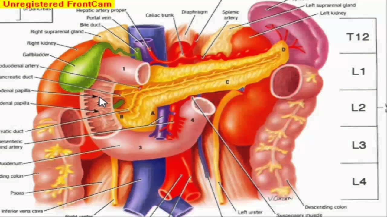 GIT Anatomy - Small intestine - YouTube