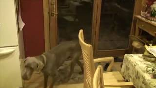 This is a random old video of our dog that can let himself in and o...