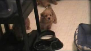 Yo-chon Puppies Bichon Yorkie Mix