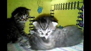 Мои котята (скоттиш-фолд).