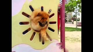 沖縄のチャウチャウ犬 アイシー 今日は沖縄県豊見城豊崎のにじ公園に遊...
