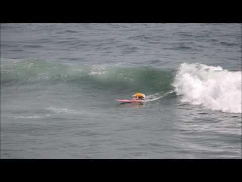 Sugar the Surfing Dog Surfing Vans Us Open of Surf  !!
