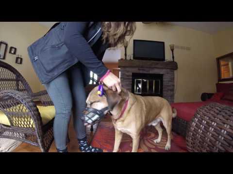 muzzle training Part 2