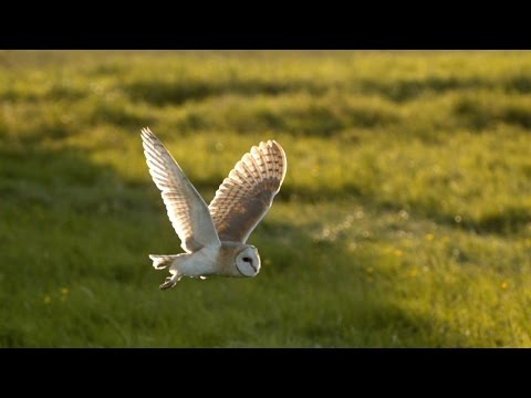 The secrets behind an owl's slow flight - Natural World: Super Powered Owls Preview - BBC Two