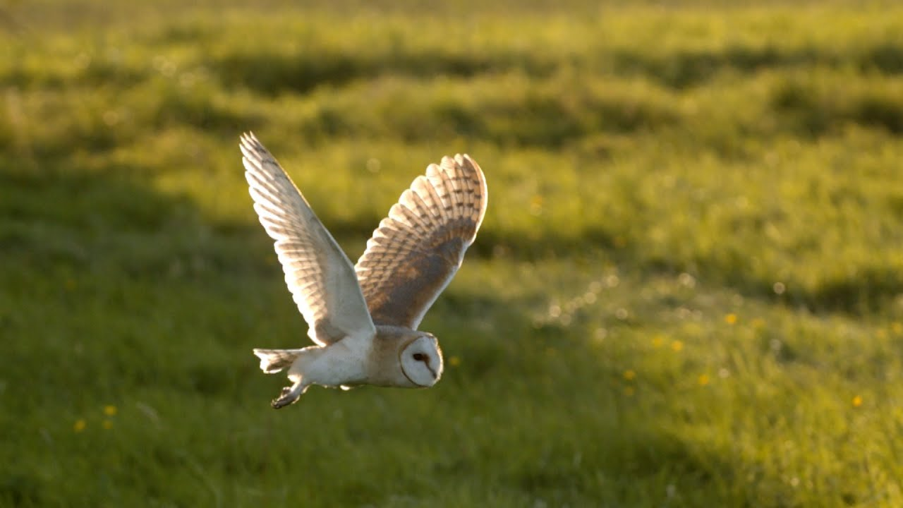 the secrets behind an owl u0027s slow flight natural world super