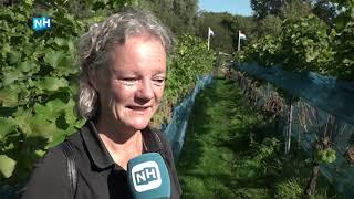 """Amstelveense wijnboer oogst eerste druiven: """"Hier gaan we wel prijzen mee winnen"""""""