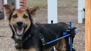This Dog Was Left Paralyzed On The Beach Until Someone Decided To Save Him !