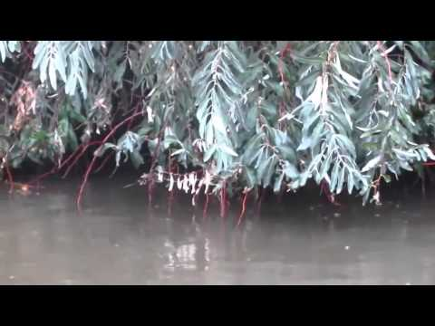 Белый амур кушает листву с деревьев!