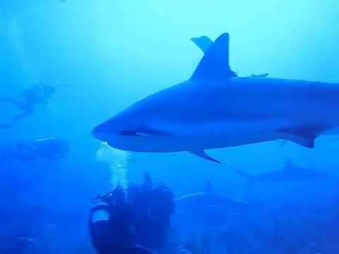 Buceo En Jardines De La Reina Cuba 2011 Tiburones Youtube