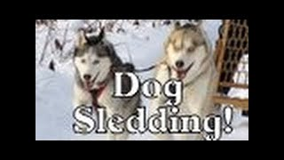 Dog Sledding With Our Kicksled Shiloh And Shelby Siberian Husky Sled Dogs  Arctic Adventure