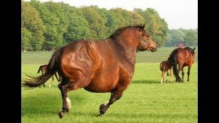 ƏЛЕМДЕГІ ЕҢ АУЫР ЖЫЛҚЫНЫҢ САЛМАҒЫ 1 ТОННАДАН АСТЫ МА? || About Horses