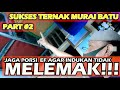 Cara Menghindari Indukan Ternak Berlemak Di Kandang Mini Ala Syaiban Mbf   Mp3 - Mp4 Download