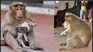Khỉ mẹ cưu mang chú chó nhỏ như chính con đẻ của mình