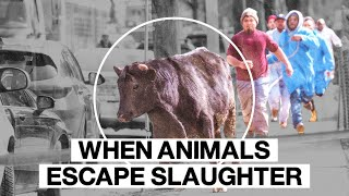 WHEN ANIMALS ESCAPE SLAUGHTER