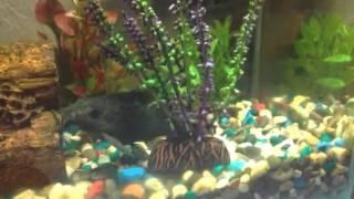 Смешные аквариумные лягушки