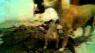 Indias amazings dogs www yaaya mobi
