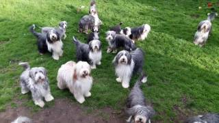 Bearded Collie garden party