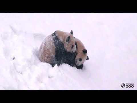 Giant Panda Cubs Tumble In The Snow!