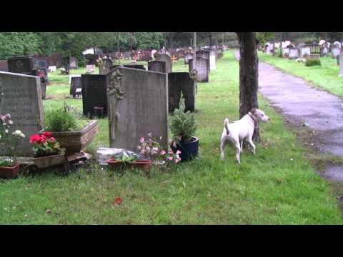 Jack Russell Squaddie visits Diana Dors resting place.