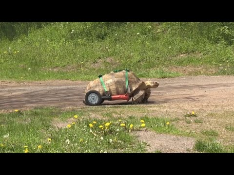 Moncton tortoise ready to roll with custom wheelchair