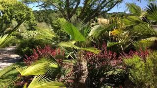 Dwarf Windmill Palm, Trachycarpus Wagneranus