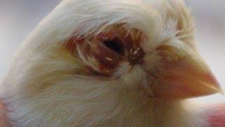 علاج الطيور من تساقط الريش حول العين والعنق والرأس