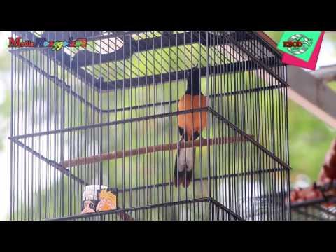 Lomba Burung Murai Borneo Raja Meratus Di Tanah Borneo