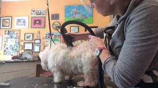 Grooming A Senior Citizen Westie