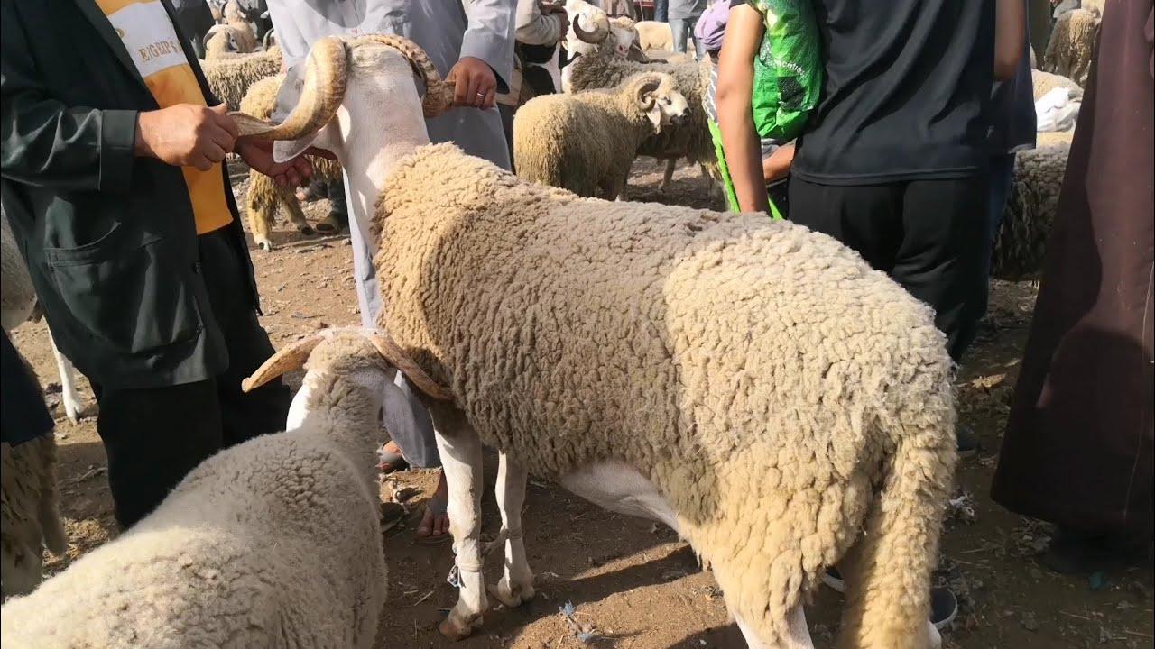 شوفو أكبر حولي ديال العيد دير 6000 درهم برحبة الغنم بحد السوالم