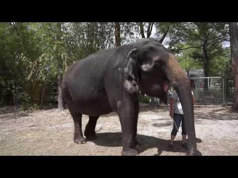 Asian Elephant Sound