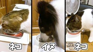 🐈【犬と猫】3匹仲良く並んで食事! #shorts