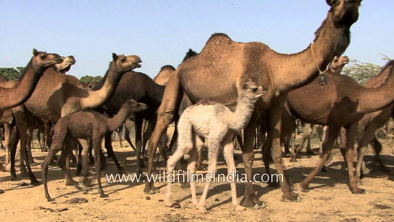 Download Camels depart on a desert journey - Kutch, Gujarat