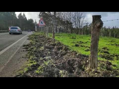 Los jabalíes destrozan prados y arcenes en Cervo