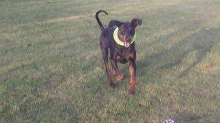 Doberman Dexter Mooching At A & B Dogs Boarding & Training Kennels.