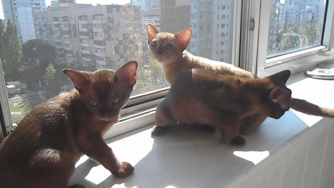 Смешные кошки и котята породы Бурма Лучший вариант для детей - YouTube