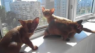 Бурманские котята и бурма кошка ласкаються и греються на солнце на балконе