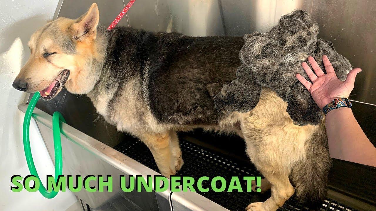 Download Massive Undercoat Removal   German Shepherd Shedding   Rovers Makeover Dog Grooming