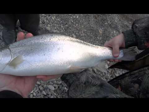 Черноморский лосось на сбирулино и силикон