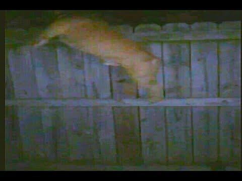 HUGE Pitbull Jumps Fence Chasing Opossum Clan