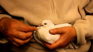 How to remove ticks from pigeons with essential oil. Enlever un tique. Como eliminar una garrapata.