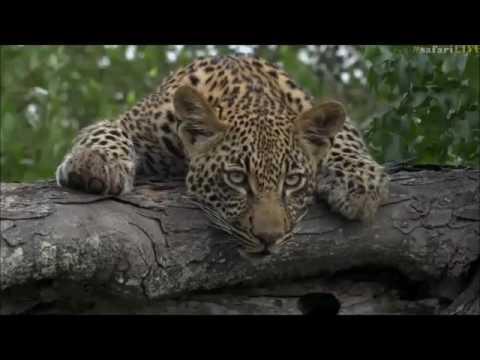 Safari Live : Thandi and her Cub Thamba on...