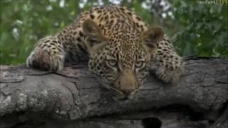 Safari Live : Thandi and her Cub Thamba on drive this morning with Tristan April 10, 2017 thumbnail