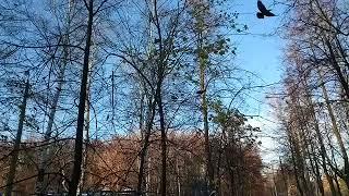 Птицы клюют ягоды рябины