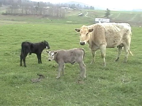 calves-born-to-be-wild!