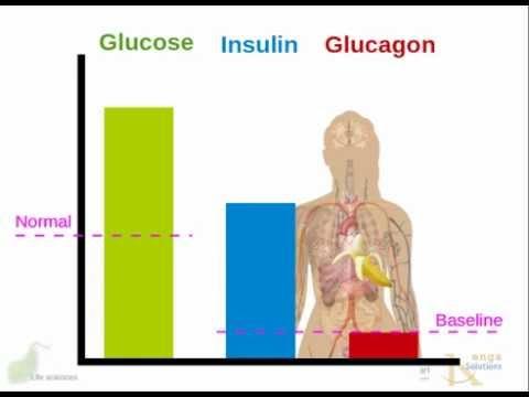 Human endocrine system: Pancreas: insulin,  glucagon; diabetes